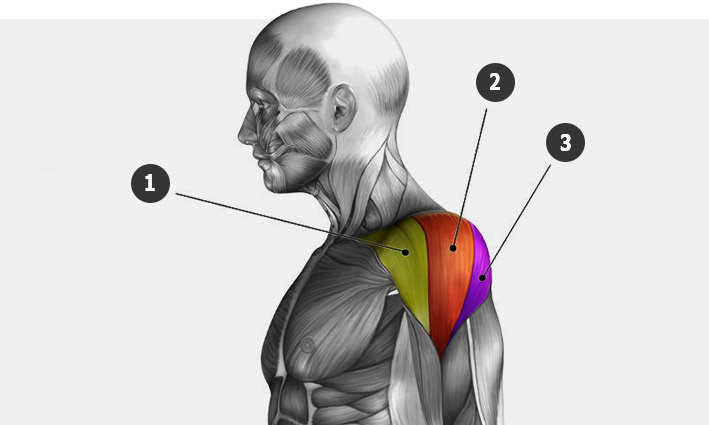 Анатомия плеч дельтовидных мышц