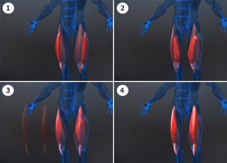 Анатомия квадрицепсов