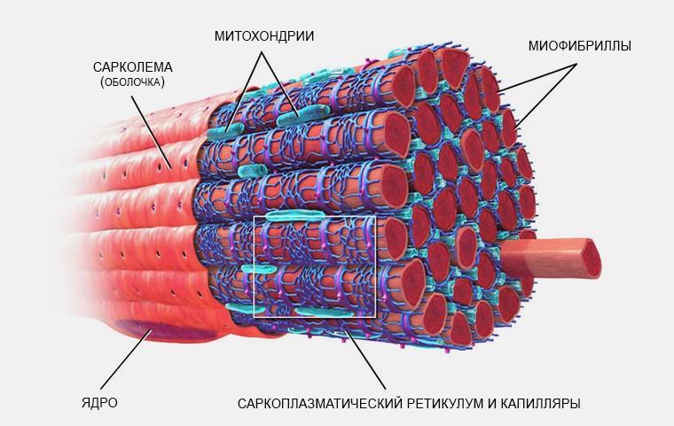 Устройство мышечного волокна