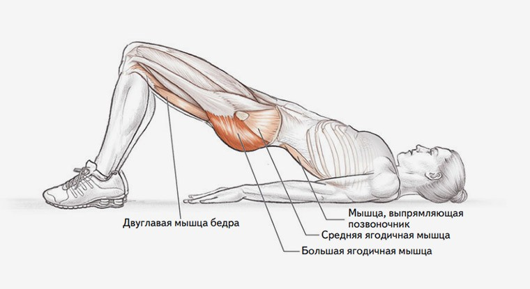 Анатомия упражнения мостик на плечах