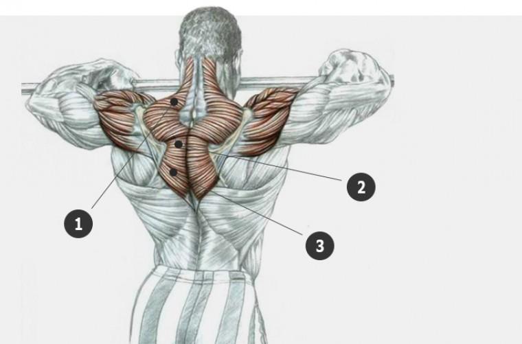Анатомия трапециевидных мышц